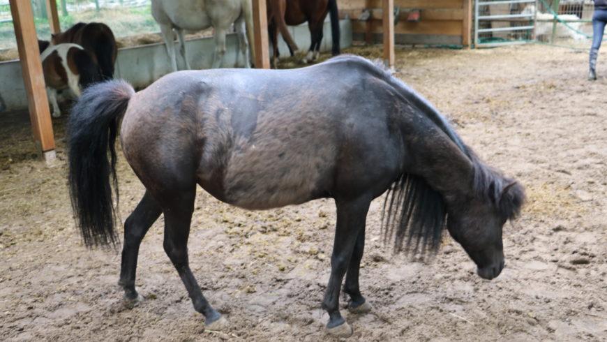 Pferd Hufrehe